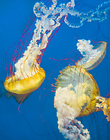 435250012 pacific sea nettle chrysaora fuscescens swim and float in their aquarium at the long beach aquarium in long beach california