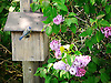 A Tit sits on its nesting box where it is rearing its young. A Lilac tree is in flower next to the nesting box.<br />