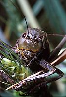Mormon Cricket feeding on wheat head. ORTHOPTERA Teffigoniidae Anabrus simplex. North of Vernal, Utah.  Vernal Utah USA Uintah Basin.