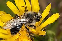 Graue Sandbiene, Düstere Sandbiene, Männchen, Blütenbesuch, Blütenbesucher, Andrena cineraria, Ashy Mining-bee, mining bee