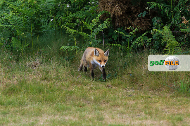A fox cub during Round 3 of the East of Ireland Amateur Open Championship at Co. Louth Golf Club in Baltray on Sunday 4th June 2017.<br /> Photo: Golffile / Thos Caffrey.<br /> <br /> All photo usage must carry mandatory copyright credit     (&copy; Golffile | Thos Caffrey)