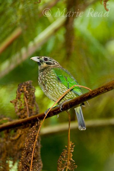 Spotted Catbird (Ailuroedus crassirostris), Lake Eacham, Queensland, Australia