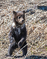 Baby Grizzly Bear trying to muster up macho grizzly bear look.