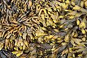 Channelled Wrack {Pelvetia canaliculata}, Bladder Wrack {Fucus vesiculosus} and Spiral Wrack {Fucus spiralis} seaweeds, exposed at low tide in upper-shore zone. Isle of Mull, Scotland, UK. June.
