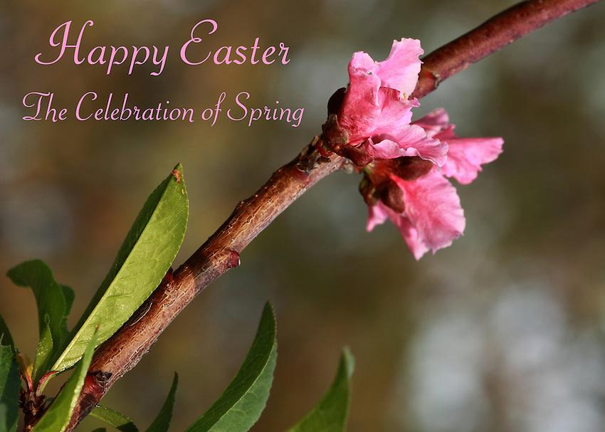 Peach Blossom in spring..