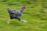 Europe/France/Bretagne/35/Ille et Vilaine/Louvigné-de-Bais : Paul Renault et son fils Olivier éleveurs de poules:  Coucou de Rennes - Ferme de l'Entillère<br /> Auto N°: A12-3011, A12-3012