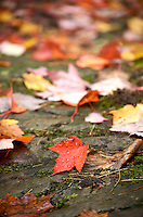 A bright red maple leaf covered in raindrops with a blanket of red leaves blurred in the background. Marquette, County Michigan