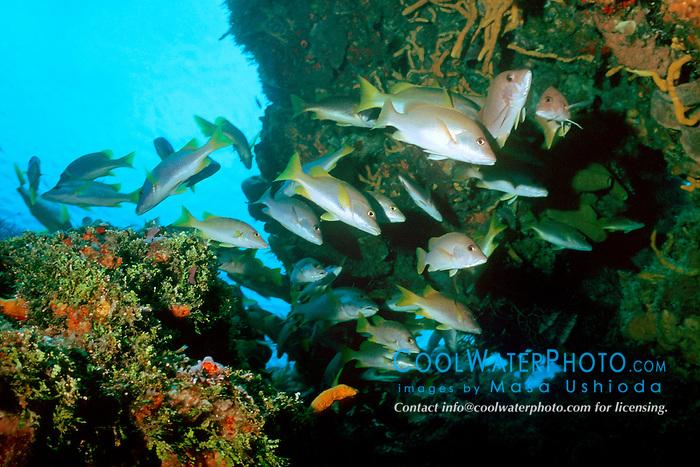 schoolmasters, Lutjanus apodus, Columbia, Cozumel, Mexico, Caribbean Sea, Atlantic Ocean