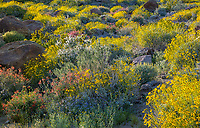Anza-Borrego Desert State Park, CA: Brittlebush (Encelia farinosa), chuparosa (beloperone californica), phacelia (Phacelia distans) and desert lavender (Hyptis emoryi) flowering among the sandstone boulders and hilllside of Glorieta Canyon