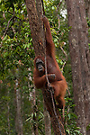 Bornean Orangutan (Pongo pygmaeus wurmbii) - adult female mother