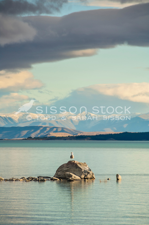 Seagull perched on a rock, Lake Pukaki, Mackenzie Basin NZ