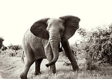 BOTSWANA, Africa, Chobe National Park and Game Reserve, Bull Elephant just after it charged our truck, Black and White