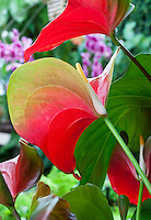 Obake Anthurium with red spathe and yellow spadix at Conservatory of Flowers