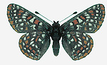 Taylor's Checkerspot Butterflies