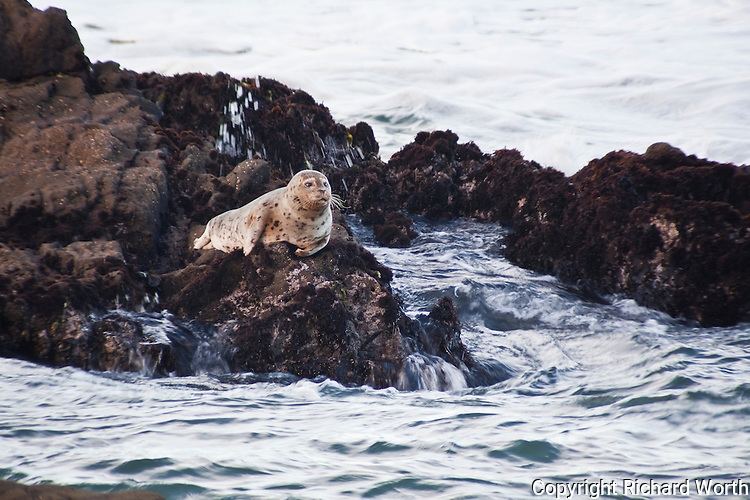 A harbor seal checks its surroundings after a wave crashes against the rocks.