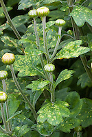 Chrysanthemum disease White rust, plant disease leaf problem in garden, yellow spots on leaves