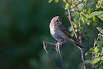 Western Wood Pewee in Montana