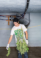 Mark Ahmadi (cq) defoliates marijuana plants at a Good Meds Network grow house in Denver, Colorado, Tuesday, December 3, 2013. <br /> <br /> Photo by Matt Nager