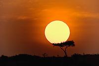Sun rising behind single acacia tree, Masai Mara, Kenya, Africa