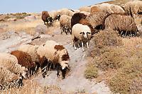 Sheep grazing near Molivos, Lesbos Island, Greece