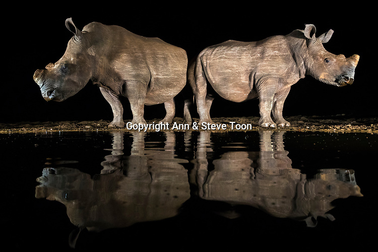 White rhino (Ceratotherium simum) drinking at night, Zimanga private game reserve, KwaZulu-Natal, South Africa, May 2017