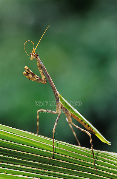Mantid, Mantidae, adult on palm frond, The Inn at Chachalaca Bend, Cameron County, Rio Grande Valley, Texas, USA