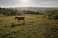 A Sumba horse tied on an open field near Waikabubak, Western Sumba.