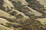Coast Live Oak (Quercus agrifolia), Valley Oak (Quercus lobata), and Blue Oak (Quercus douglasii) trees in oak savanna, Del Valle Regional Park, California