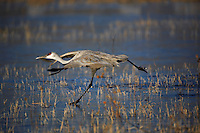 Sandhill crane (Grus canadensis) running along the icy pond to fly over to the feeding grounds at Bosque del Apache