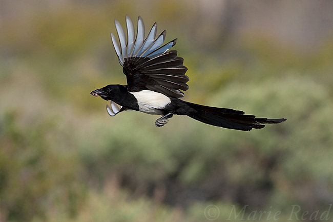 Black-billed Magpie (Pica hudsonia), in flight carrying beakful of roadkilled meat, Mono Lake Basin, California, USA
