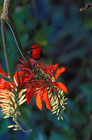 Crimson Honeyeater on coral bean tree. Tutuila, Am. Samoa