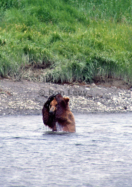 Grizzly bear repeatedly putting rock on head and letting it fall off, McNeil River, Alaska