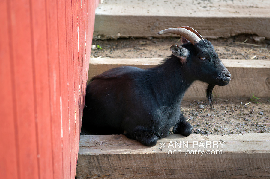 A Nigerian Dwarf Goat, with black beard and hollow horns, sits on rustic steps along the side of the red barn at Norman J Levy Park & Preserve, during a sunny Memorial Day weekend. The miniature goats are popular attractions at the Long Island park, and help it ecologically by grazing on weeds.