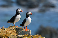 Atlantic Puffins (Fratercula arctica) in breeding plumage, July. These North Atlantic seabirds come to land every year for about 4 months to burrow and raise their young on grassy cliffs and offshore islands, here along the eastern coast of Newfoundland, Canada.