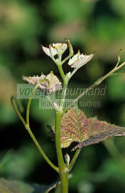 Océanie/Australie/South Australia/Australie Méridionale/Barossa Valley/Bethany: Le vignoble - vigne en fleur - Cépage Shiraz ou Syrah