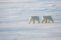 01874-14306 Polar Bears (Ursus maritimus)  in Cape Churchill Wapusk National Park,  Churchill, MB Canada
