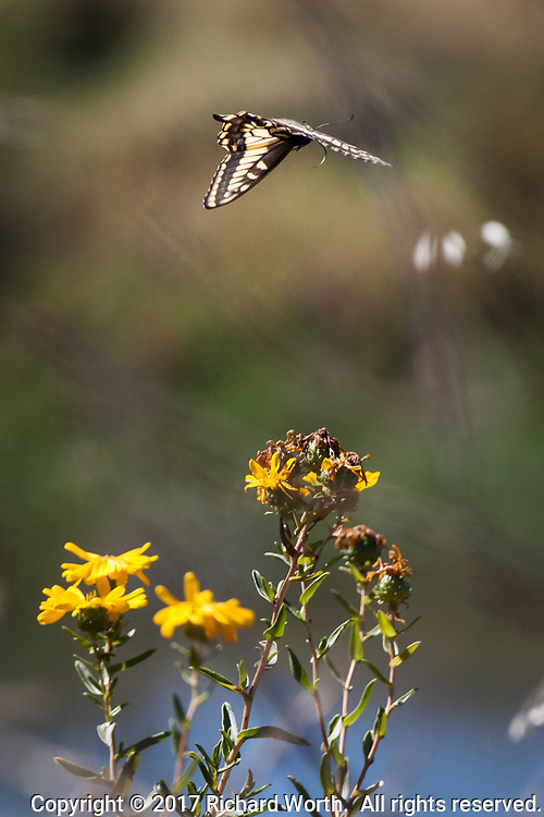 A yellow and black-winged Anise Swallowtail butterly in flight over the bright yellow flowers of a Narrowleaf Pacific gumplant, along the shores of the Martin Luther King Jr. Regional Shoreline in Oakland, California.