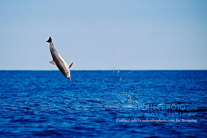 spinner dolphin calf leaping, Stenella longirostris, Kona, Big Island, Hawaii, Pacific Ocean
