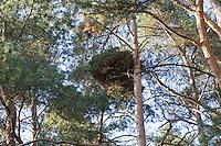 Hexenbesen an Kiefer, Wuchsanomalie, Wald-Kiefer, Waldkiefer, Gemeine Kiefer, Kiefern, Föhre, Pinus sylvestris, Scots Pine, witch's broom, witches' broom, Le Pin sylvestre