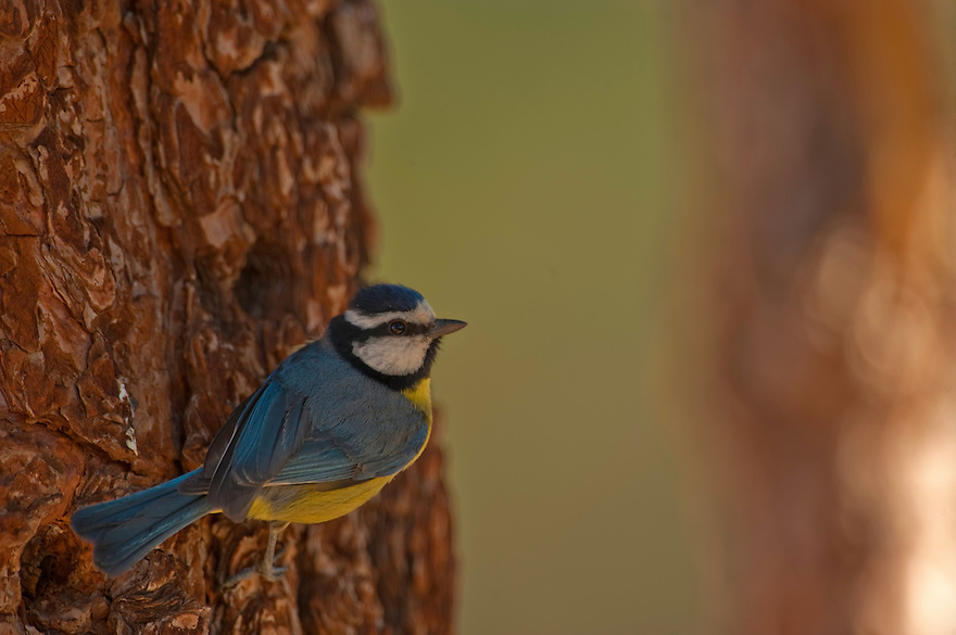 Blue Tit (Parus caeruleus) in Vorona Forestal Natural Park, Near Teide Mountain, Tenerife Island, Canary Islands. Spain