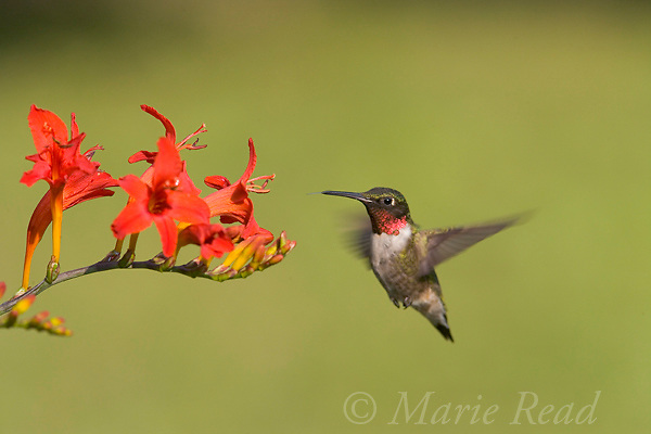 Ruby-throated Hummingbird (Archilocus colubris) male approaching to feed on nectar from Crocosmia flowers, New York, USA