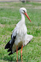 Storch in Litauen, Europa