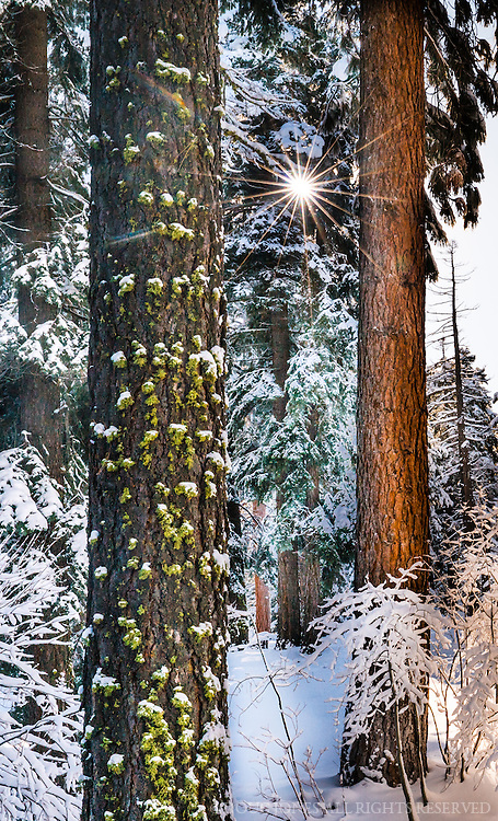 A sun flare breaks through the snowy branches of these White Fir trees outside our Sierra Nevada home.