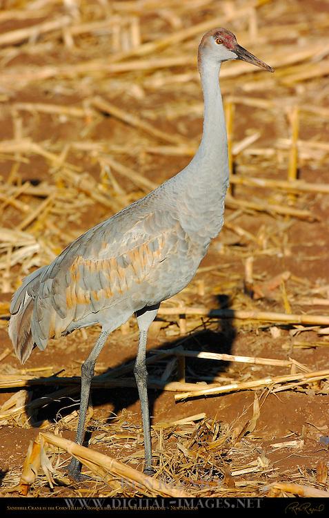 Sandhill Crane in the Corn Fields, Bosque del Apache Wildlife Refuge, New Mexico