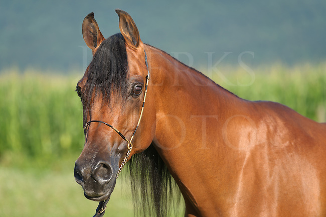 Horse in side view head shot, Arabian bay mare close up in open summer landscape outdoors.
