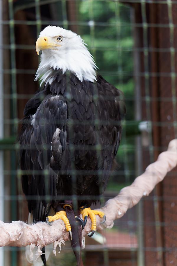 Captive bald eagle, Alaska Raptor Rehabilitation Center, Sitka, Alaska, USA