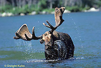 MS01-019z   Moose - bull (male) feeding at Sandy Stream Pond in Baxter State Park, Maine - Alces alces