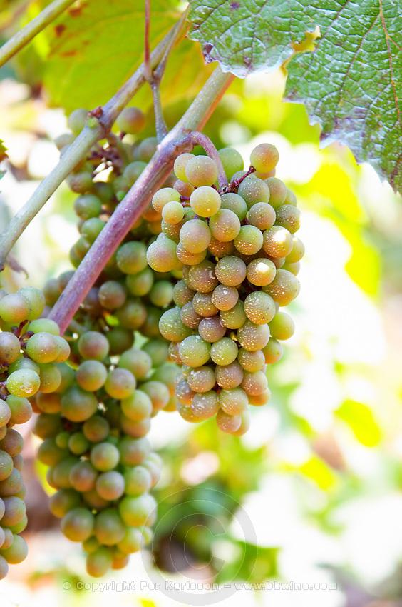 Bunch of grapes on a vine. Zilavka local grape variety. Vita@I Vitaai Vitai Gangas Winery, Citluk, near Mostar. Federation Bosne i Hercegovine. Bosnia Herzegovina, Europe.
