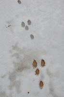 Europäisches Wildkaninchen, Wild-Kaninchen, Kaninchen, Trittsiegel im Schnee, Oryctolagus cuniculus, Old World rabbit