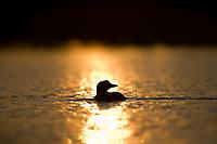 Common Loon, Flat lake, Alaska.